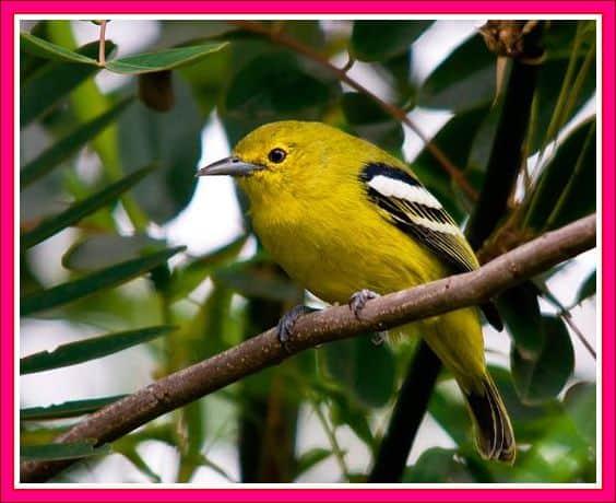 tips cara merawat burung cipoh blog campuran