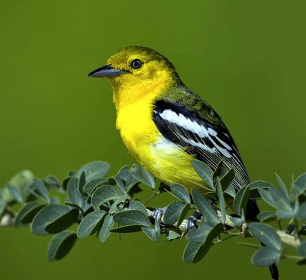 burung sirtu